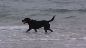 Izzy hurling herself at Bamburgh beach