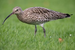85612769 - curlew, on the grass, during the winter, close up